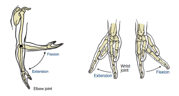 Elbow and Wrist Joints