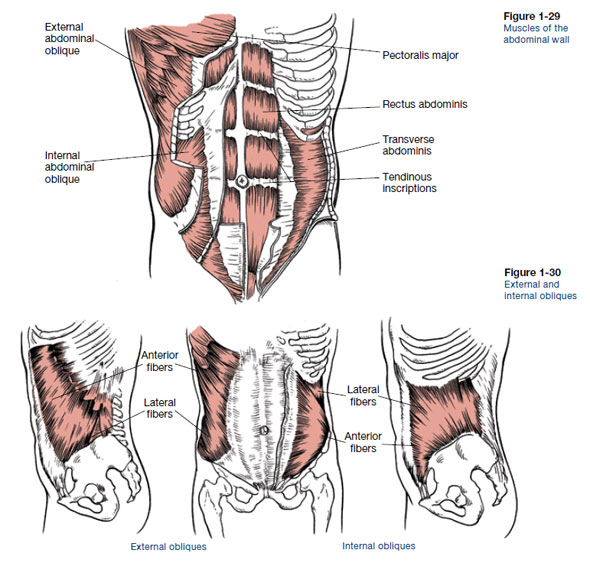 Core Anatomy Learn About Core Muscles Ace Blog