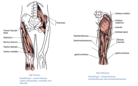 Diagram Of Muscles In Your Leg - Wiring Library •