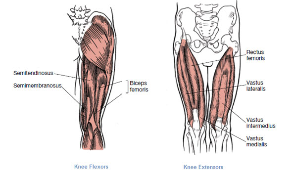 muscles that move the leg, Muscles
