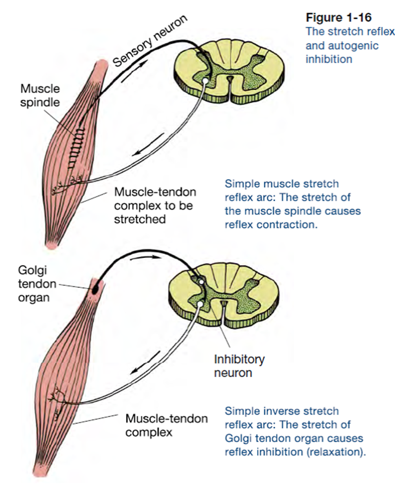 Golgi Tendon Organs And Muscle Spindles Explained Ace