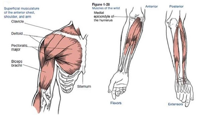 muscles that move the arm, Human Body